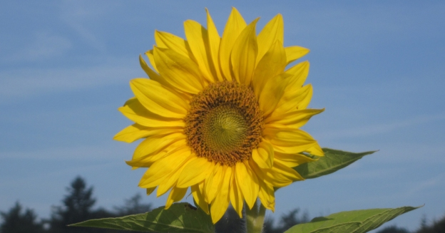 zonnebloem-1000